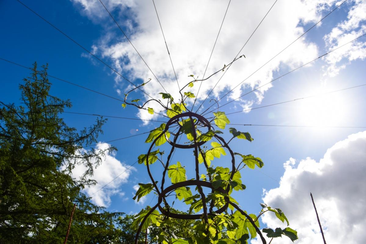 Centralt i humlecirkeln har en större planta planterats som ska få växa ut mot stolparna på uppspända vajrar.